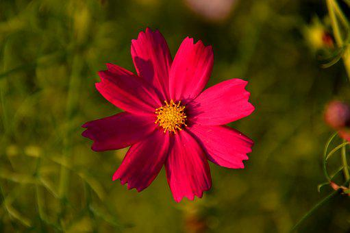 Cosmos, Flowers, Plants, Autumn, Nature, Petal, Red