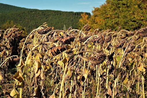 Sunflower Field, Sun Flower, Ripe, Harvest Time