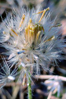 Reed Flower, Meadow, White Flower, Seeds, Flying Seeds