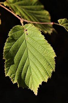 Leaf, Hazelnut, Green, Leaves, Branch, Serrated