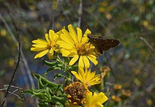 Silver-spotted Skipper In Sunflower, Butterfly, Insect