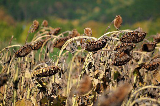 Sunflower Field, Harvest Time, Sun Flower, Nature, Ripe