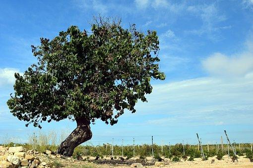 Tree, Mulberry Tree, Old, Old Tree, Nature, Wood