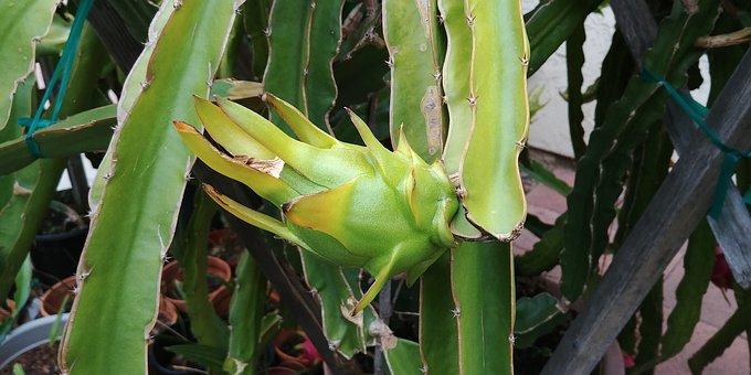 Dragonfruit, Juicy, Green, Tropical, Exotic, Natural