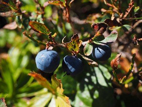 Blueberries, Ripe, Blue, Vaccinium Heather Plant
