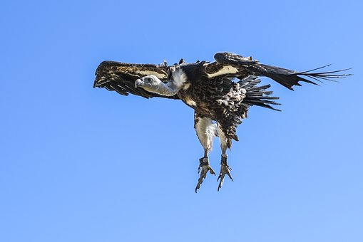 Vulture, Flight, Landing, Raptor, Sky, Scavenger, Fly