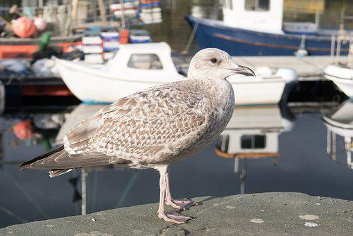 Gull, Young, Nature