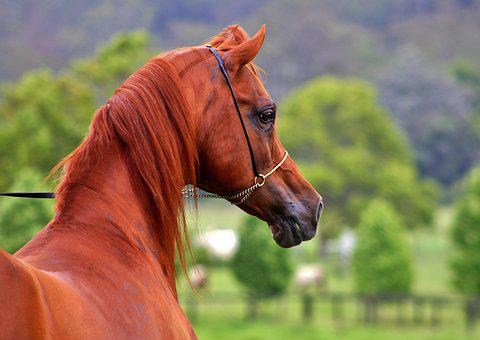 Arabian, Arabian Horses, Horses, Equines, Equine