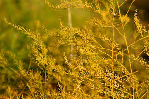 Asparagus Plant, Autumn, Close, Branches, Yellow