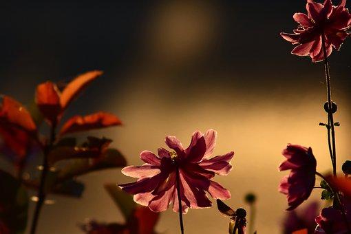 Anemone, Evening Sun, Red Flower, Flower, Bloom, Plant