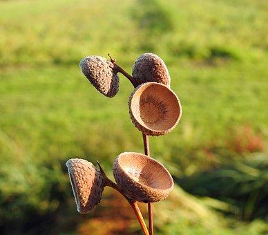 Acorn, Oak, Field