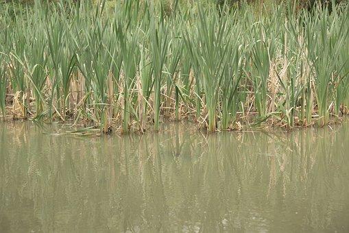 Cañas, Water, River, Fishing, Nature, Field, Green