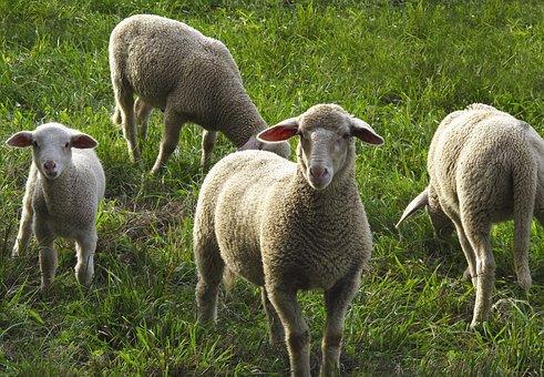 Sheep, Flock, Flock Of Sheep, Domestic Sheep, Animals