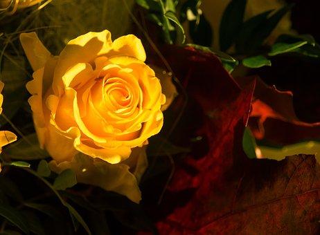 Rose, Yellow, Yellow Roses, Flower, Rose Blooms