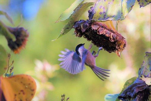 Bird, Sun Flower, Autumn, Food, Blossom, Bloom, Tit