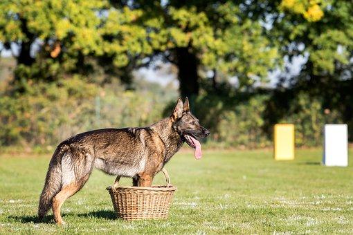 Dog, German Shepherd, Guard, Basket, Field, Sport
