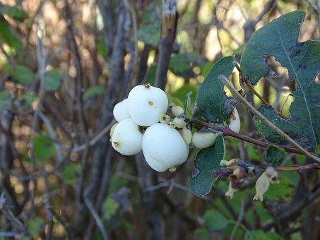 Berry, Fetus, Nature, Branch, Bush, Plant, Plants