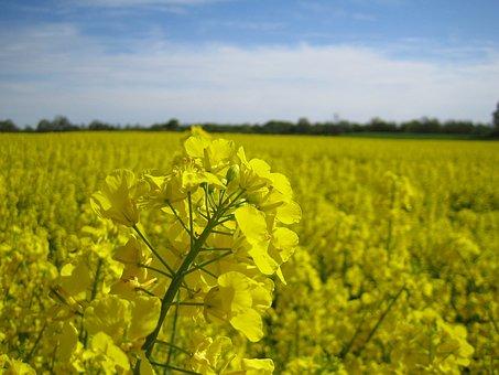 Oilseed Rape, Field, Yellow, Landscape, Rape Blossom
