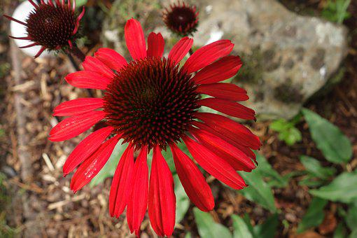 Echinacea, Plant, Sun Hat, Blossom, Bloom, Nature