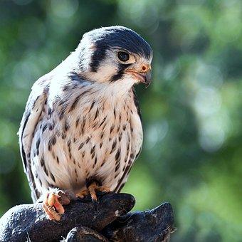 Falcon, Baby, Raptor, Bird, Young