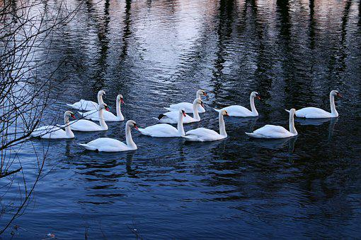 Swans, Water, River, Winter, Bird, Nature, Beak, Lake