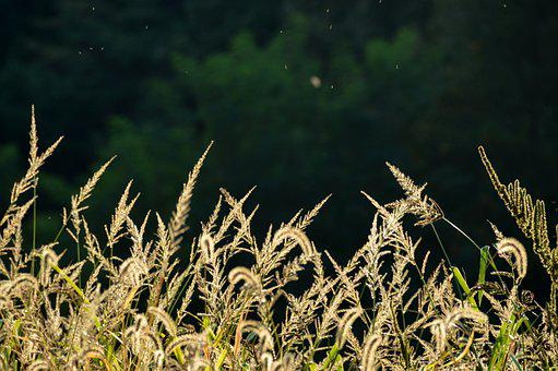 Silver Grass, Silver Pool, Autumn, Reed, Nature