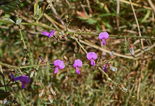 Wild Sweet Pea Grouping, Wildflower, Flower, Blossom