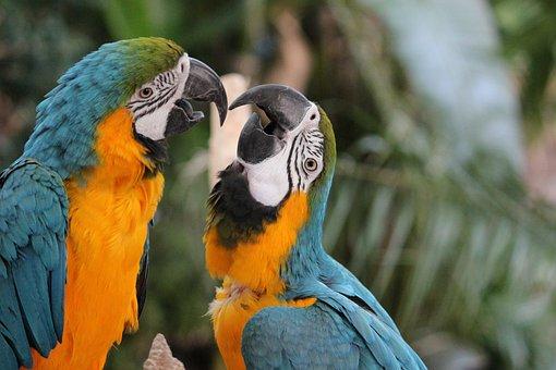 Parrot, Ara, Plumage, Birds, Yellow Breast
