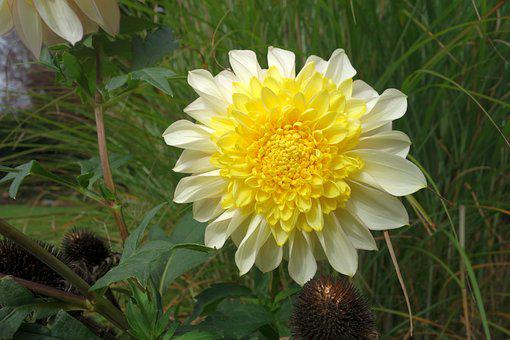 Dahlia, Garden, Yellow, Ornamental Flower