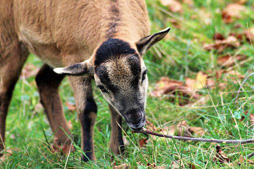 Kitz, Animal, Zoo, Goat, Cub, Young Animal, Scheu