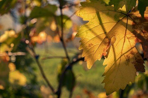 Leaf, Screw, Vineyard, Campaign, Autumn, Yellow