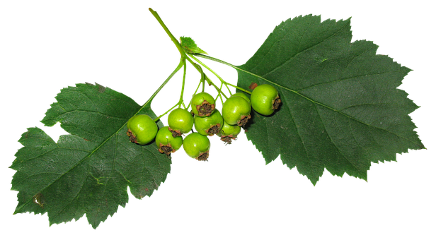 Leaves, Berry, Fruit, Green Leaves, Green, Stand-alone