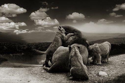 Lion, Big Cats, Black And White, Monochrome, Fur, Cat