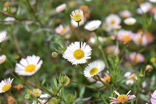 Daisy Flowers, Flowers, Daisy, Wild, Wildflower