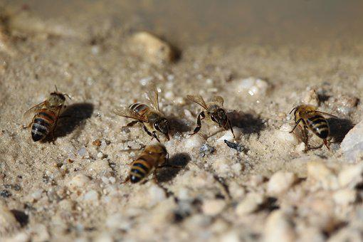 Bees, Bee, Honey, Drink, Insect