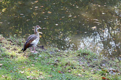 Nilgans, Alopochen Egypt, Duck Bird, Bremen, City Park