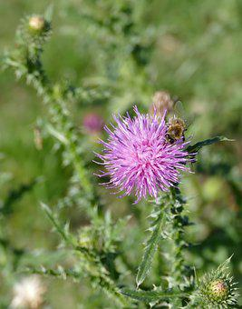 Thistle, Bee, Flower, Plant, Pollination