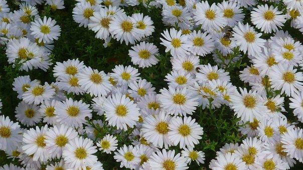 Mountain Aster, Autumn Flower, Small, White, Flowers