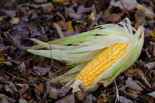Corn, Corn On The Cob, Food, Autumn, Leaves, Cereals