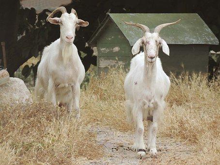 Sardinia, Goats, Nature, Meadow, Grass