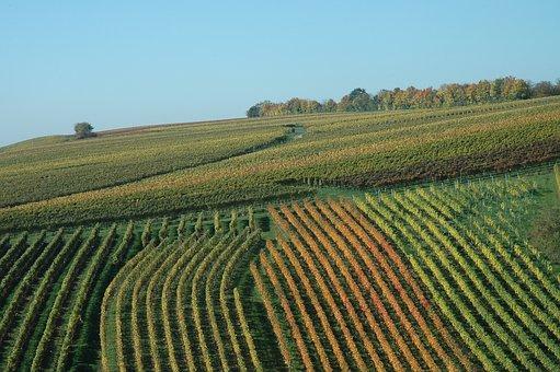 Vineyard, Autumn, Winegrowing, Golden October, Emerge