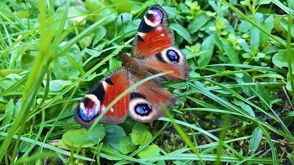 Butterfly, Close, Garden, Green, Grass, Insect, Nature