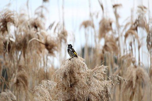 New, Holland, Honeyeater, Honey, Eater, Bird, Reeds