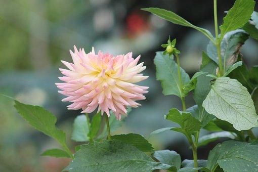 Flower, Garden, Home Garden, A Garden Plant, Nature