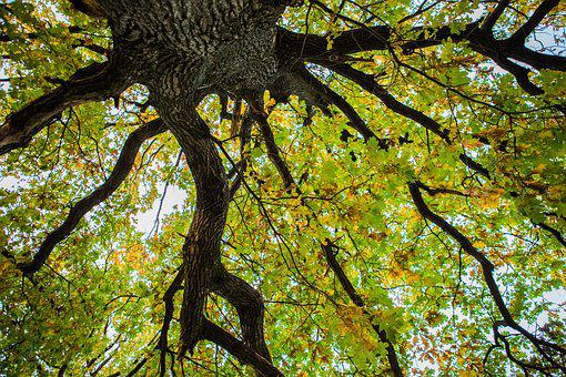 Tree, Autumn, Oak, Beauty