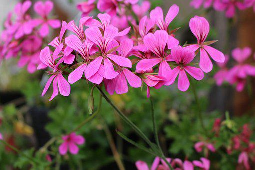 Flowers, Pink, Flowering, Romantically, Plants, Nature