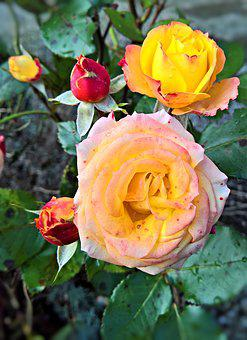 Roses, Rosenstock, Autumn, Last Flowers, Yellow, Red