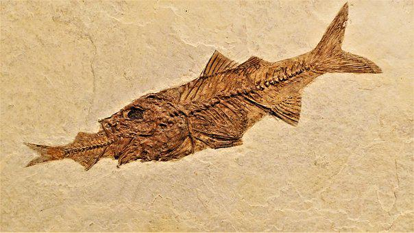 Fish, Fossil, Perch, Rock, Skeleton, Paleontology