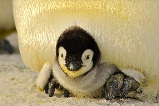 Penguin, Baby, Antarctic, Life, Animal, Emperor, Cute