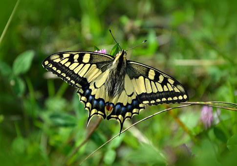 Butterfly, Dovetail, Papilio Machaon, Nature, Insect